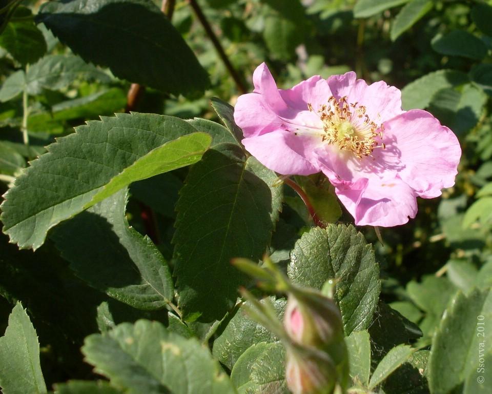 Последний цветок шиповника